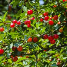Wild cherry, cherries for the birds