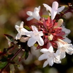 Pinkish white glossy abelia flowers with red leaves unfurling at the center.