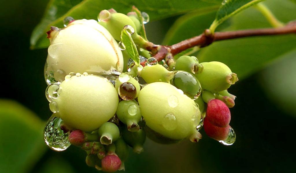 Symphoricarpos fruits forming.