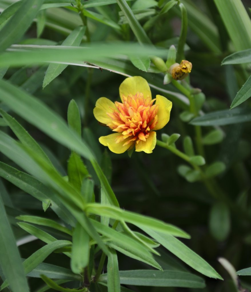 Tarragon leaves with a golden yellow flower blooming.