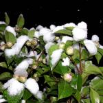 White snow on white camellia flowers in a black night.
