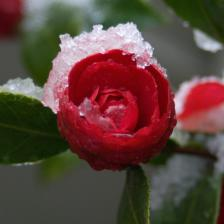 Camellia, flowers at the heart of winter