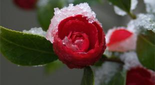 Snow covers a blood red camellia flower opening up.