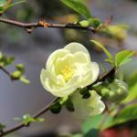 Winter is over and this early spring yellow camellia blooms.