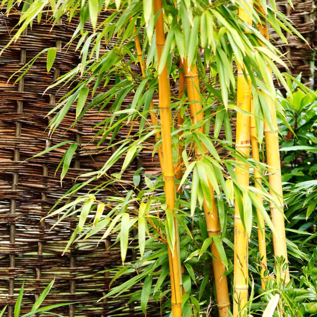 Bamboo shoots clumping together in front of a wicker fence.