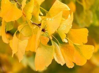 Leaves on a gingko branch are sun yellow in fall.