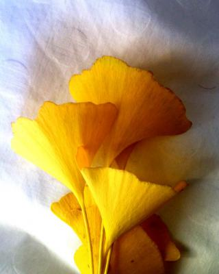 Ginkgo health benefits and therapeutic value