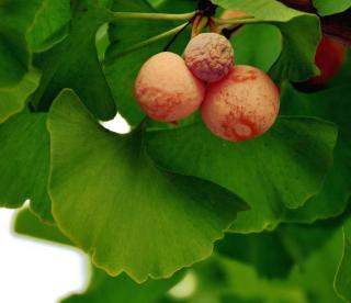 Ginkgo biloba leaves and fruits boast health benefits.