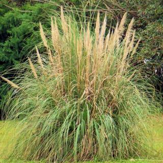 Caring for pampas grass as a standalone requires pruning.