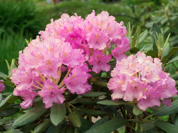 Rhododendron, special flowered shrubs