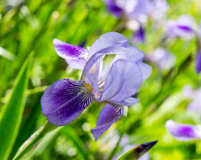 iris planting and caring for this flower