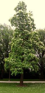 Tall upright black locust tree