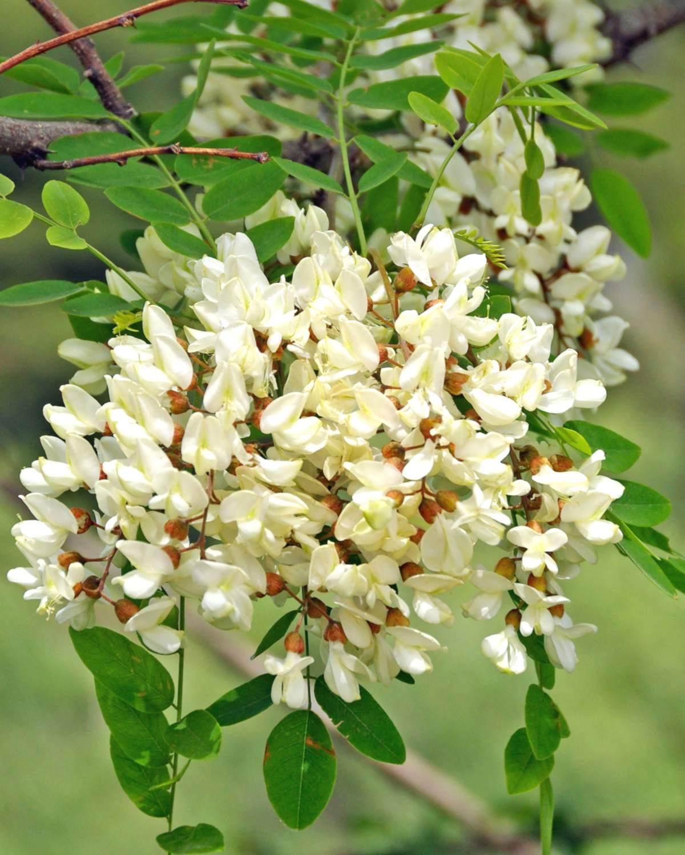 Black locust tree, false acacia