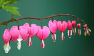 A long flower scape with bleeding heart flowers dangling down from it.