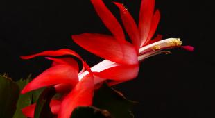 Red Christmas cactus shining against a black background.