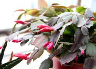 Young flowers budding open on a potted Christmas cactus.
