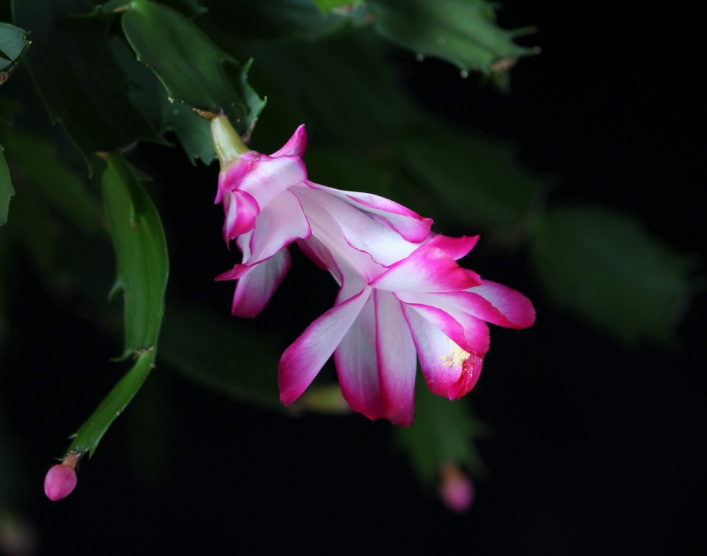 Christmas Cactus Bloom.Christmas Cactus For Seasonal Pots And Hanging Plant