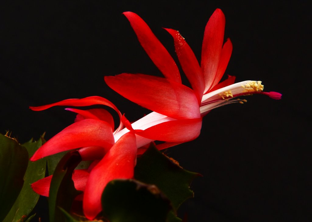 Christmas cactus, perfect for hanging flower arrangements