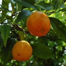 Clementine tree and mandarin orange, how to grow them