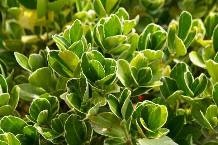 Spindle, very ornamental leaves