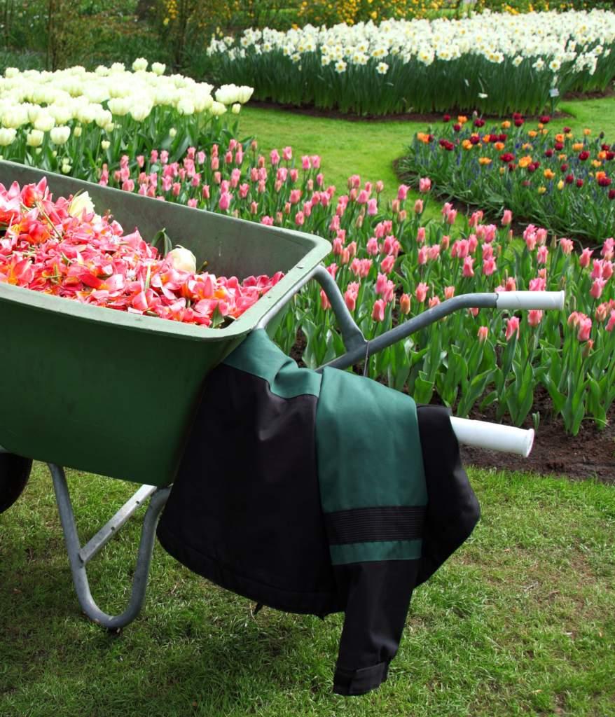 A wheelbarrow in front of tulip beds show introduce spring garden tasks.