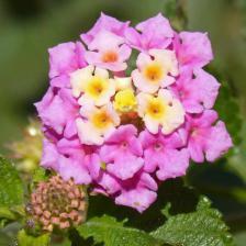 Lantana, a beautiful perennial shrub