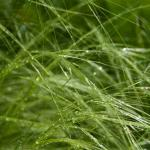 Lush spring green fronds of Mexican feather grass, Pony tails.
