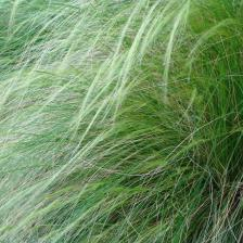 "Mexican feather grass ""Pony tails"""