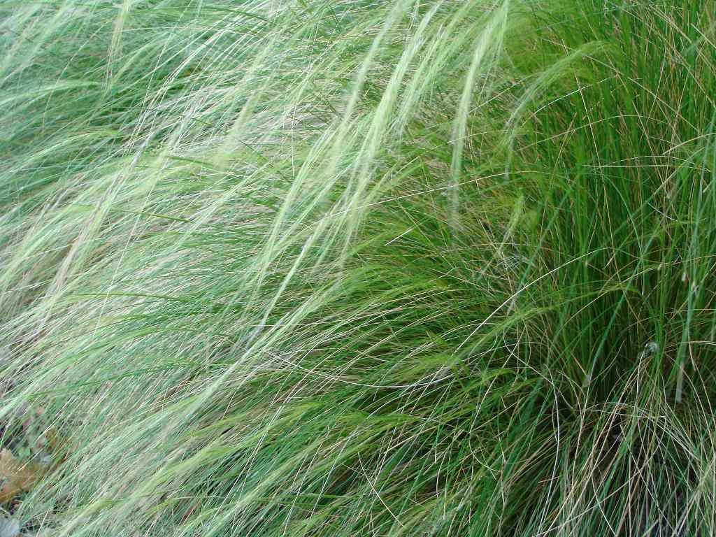 A close-up of a clump of Mexican feather grass.