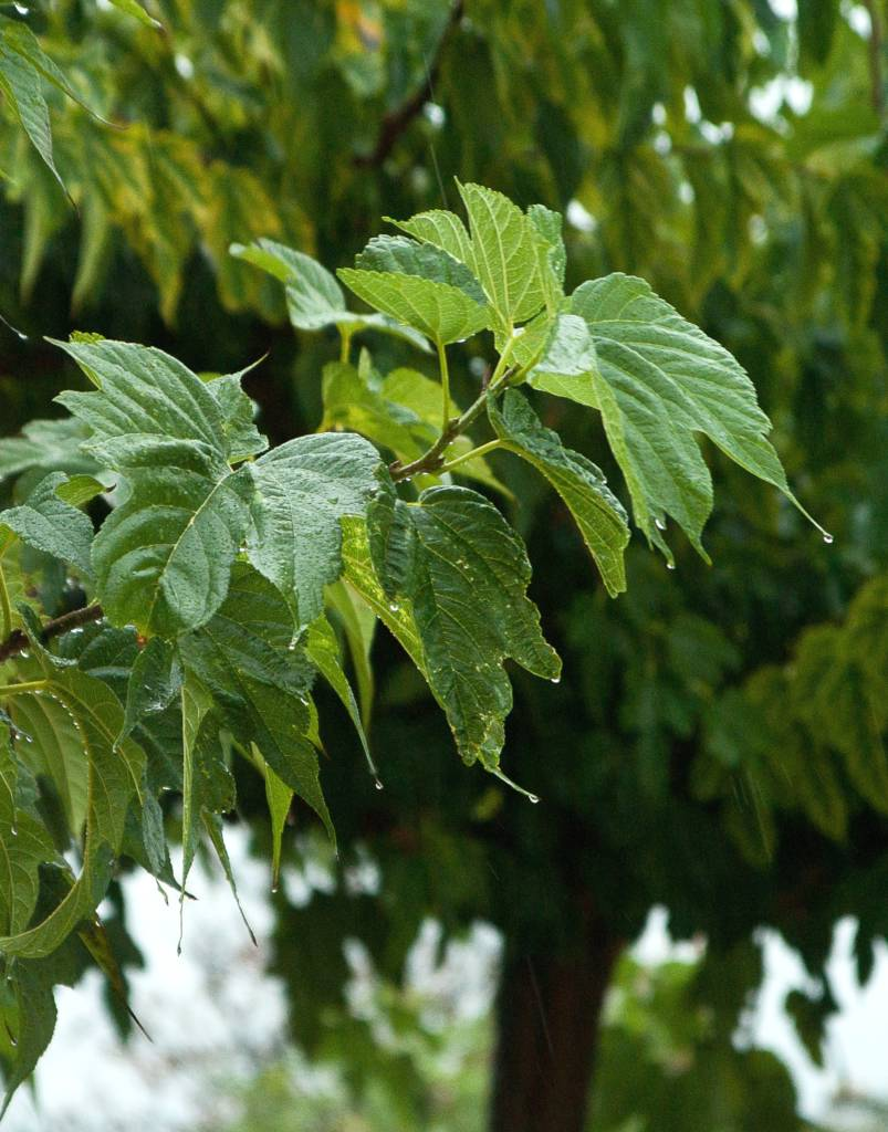 Mulberry tree leaves and shade.