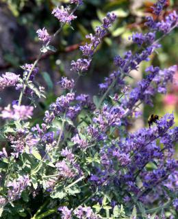 Lavender blue nepeta flower