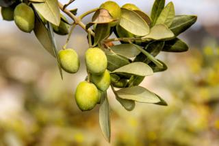 Olive tree branch with green fruits