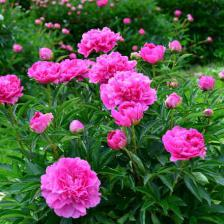 Peony, the dazzling star of the Spring