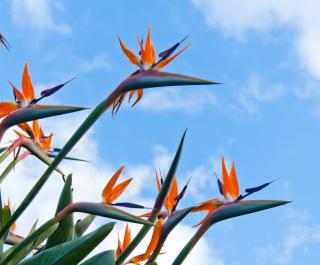 Elegant strelitzia flowers reaching for the sky.