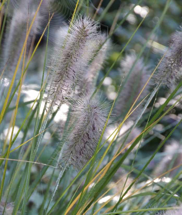Grasses, growing wild grasses in the garden