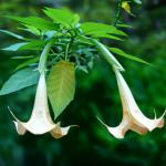 Two white brugmansia flowers hanging from the branch, with unopened buds in the background.