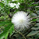 White calliandra powder puff flower on shrub.