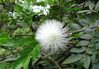 White calliandra powder puff flower on shrub.