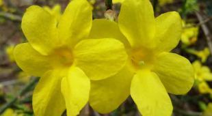 jasmin hiver Jasminum nudiflorum