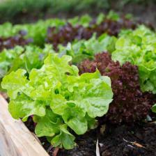 Lettuce, tips on growing it