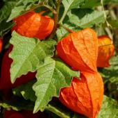 Physalis, a delicious edible berry