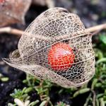 The physalis is hidden in the husk like a lantern flame.