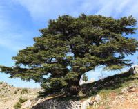 cedar tree growing on mountain slope
