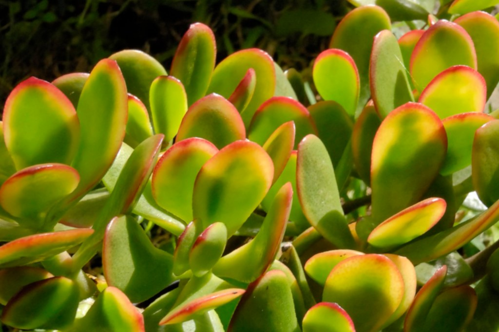 Jade Tree Tips And Guidance On Best Possible Care Varieties Propagation