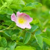 Dog rose, a rose tree with a rather wild touch