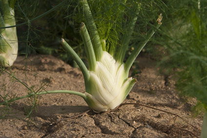 Fennel, from seed to harvest