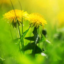 Dandelion, more than just a weed