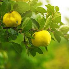 Quince tree, where the quince comes from