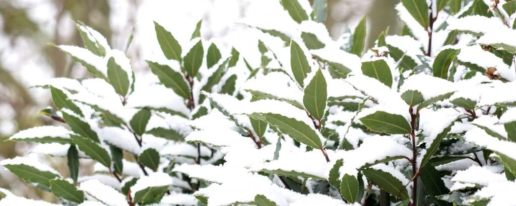 Bay laurel under snow