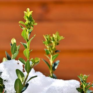 Boxwood under snow, for New Year's.